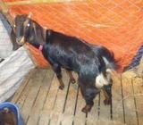 ছাগল (chagol) goat