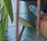 Budgerigar full fresh adult pair