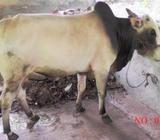 Organic 01 Cow