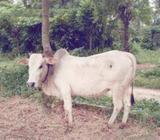 deshi ox