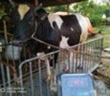 Cow Australian
