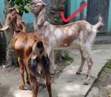 Goat for sale / খাসি বিক্রয় হবà§