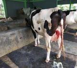 cow 100% figien