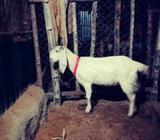 Goat যমুনাপারà¦