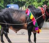 Cow For Qurbani Eid