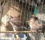 dove pair for sell