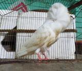 জেকোবিন কবুতর দুইটà¦