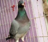 Grizzel Racer Pigeon