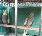 Cockatiel Breeding Pair